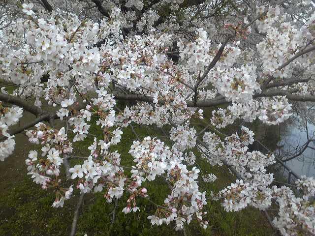 昨日の桜と今朝の(<br />  またもや雨)